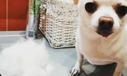 Рекомендации по уходу за шерстью собак гладкошерстных пород