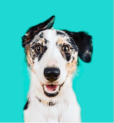 Грибковый отит у собак лечение